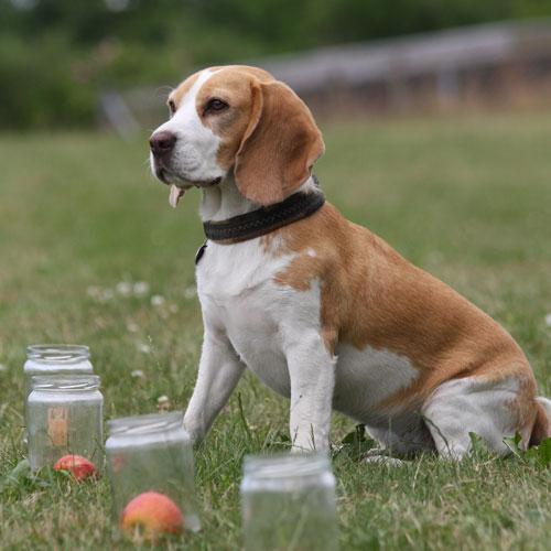 beagle-æble